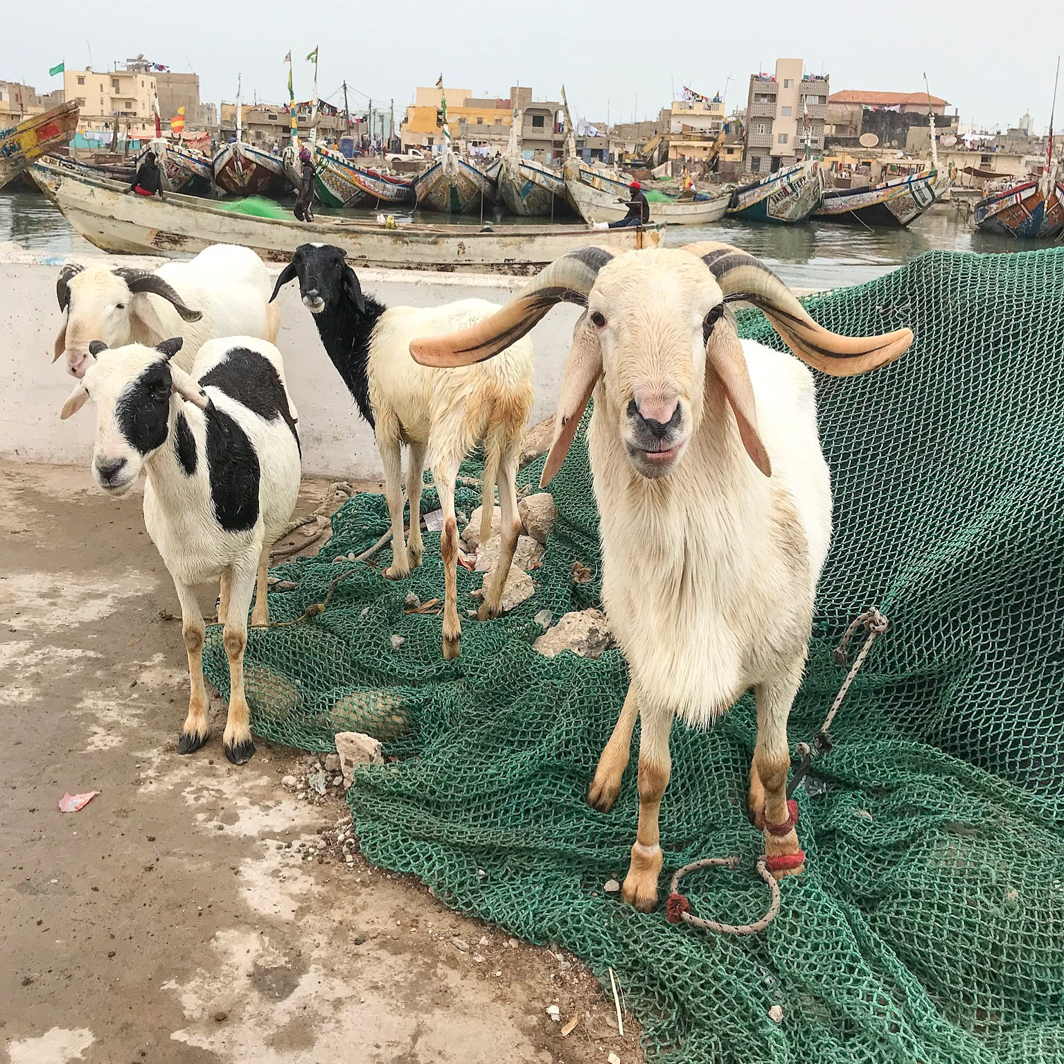 Goats on the pier